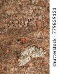 Small photo of Entephria infidaria (Geometridae)