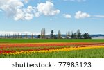 Field Of Tulips At Skagit ...