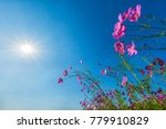 cosmos pink flower  blooming... | Shutterstock . vector #779910829