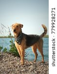 Small photo of Airedale terrier with scarf at a lake
