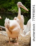 pelicans are a genus of large... | Shutterstock . vector #779958541