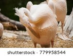 pelicans are a genus of large... | Shutterstock . vector #779958544