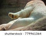 the polar bear is a carnivorous ... | Shutterstock . vector #779961364