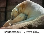 the polar bear is a carnivorous ... | Shutterstock . vector #779961367