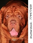 Red Bulldog Portrait