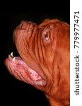 Bordeaux Bulldog Portrait
