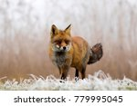 red fox standing in a white... | Shutterstock . vector #779995045
