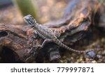 bearded dragon  pogona... | Shutterstock . vector #779997871
