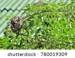 Small photo of A unique plant on tree. Sambucus simpsonii (American elder) ; An outstanding a large bunch of small fruits, round & black. clinging at tip, together with green leaves on long stalk. natural sunlight.
