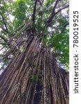 jungle giant  queensland ...   Shutterstock . vector #780019525