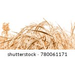 rice in the field. | Shutterstock . vector #780061171