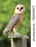 barn owl   Shutterstock . vector #78009847