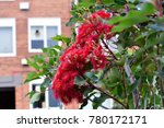 Small photo of Corymbia flowers, Red flowering gum, eucalyptus flowers.