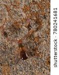 Small photo of Neobiisidae (pseudoscorpions, arachnida)