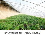 tomato greenhouse in china   | Shutterstock . vector #780245269