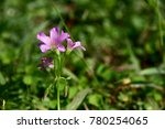 A Pink Creeping Oxalis Flowers...