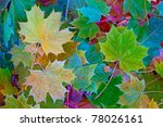 Colorful Maple Leaves With...