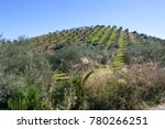 A Grassy Hill With Olive Grove...