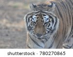 tiger in sanctuary  | Shutterstock . vector #780270865