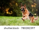 Running German Shepherd Dog