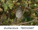 barred warbler sitting on branch | Shutterstock . vector #780310687