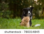 Stock photo border collie and the persian cat 780314845