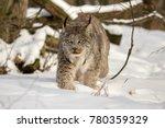 Canada Lynx Walking In Deep...