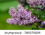 beautiful bunch of lilac...   Shutterstock . vector #780370009