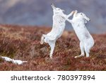 Stock photo boxing mountain hares seen in scotland 780397894
