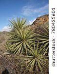 chapparal yucca  our lord's... | Shutterstock . vector #780435601