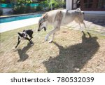 domesticated wolf playing with...   Shutterstock . vector #780532039