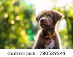 Stock photo happy adorable brown labrador retriever puppy with bokeh leaf abstract background cute smile 780539341