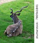a male greater kudu | Shutterstock . vector #780561841