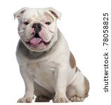 English Bulldog  18 Months Old...
