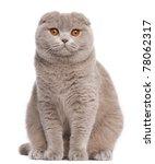 Scottish Fold Cat  9 And A Half ...