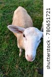 Small photo of Katahdin ewe lamb standing on green grass looking up at camera