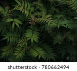 "plant ""sorbaria sorbifolia"" | Shutterstock . vector #780662494"