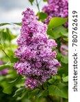 beautiful bunch of lilac...   Shutterstock . vector #780762619