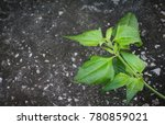 bitter bush or siam weed on old ... | Shutterstock . vector #780859021