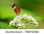 Tiger Mimic Butterfly Feeding...