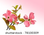 Pink Dogwood With Gradient Pink ...