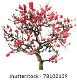 Red Plum Flower Tree Isolated...