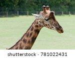 Giraffe Portrait Outdoors