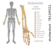 male forearm bone anatomy.... | Shutterstock .eps vector #781109221