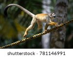 A Squirrel Monkey Playing In...