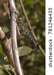 Small photo of Southern hawker dragonfly - Aeshna cyanea - male