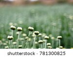 young chrysanthemum flowers... | Shutterstock . vector #781300825