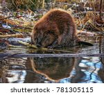 big beaver in a river outlet... | Shutterstock . vector #781305115
