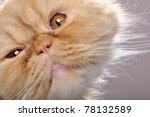 Stock photo close up portrait of a funny red persian breed cat 78132589