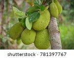 the jackfruit  artocarpus... | Shutterstock . vector #781397767